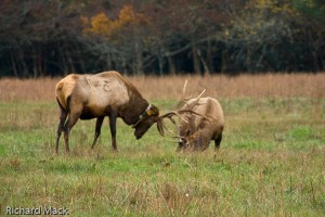 Elk, Great Smoky Mountains NP
